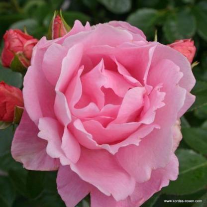 Poetry rózsaszín floribunda ágyás rózsa