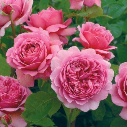 Princess_Alexandra_Of_Kent_ angol rózsa
