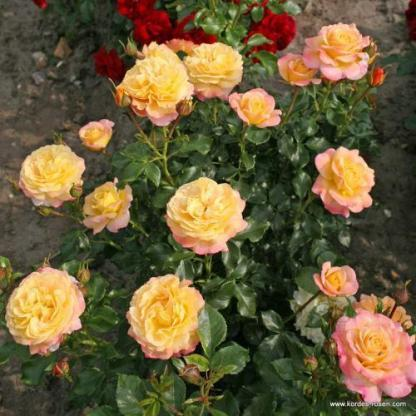 Rose der Hoffnung floribunda bokorrózsa