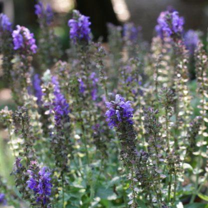 Salvia nemorosa 'Sensation Compact Deep Blue' – ligeti zsálya