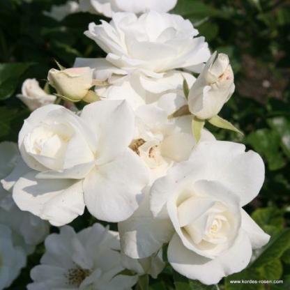 Schneewittchen fehér bokorrózsa