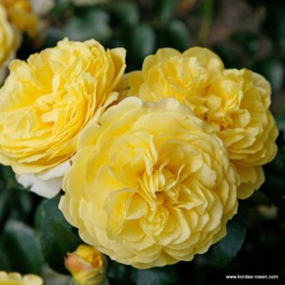 Solero sárga bokorrózsa