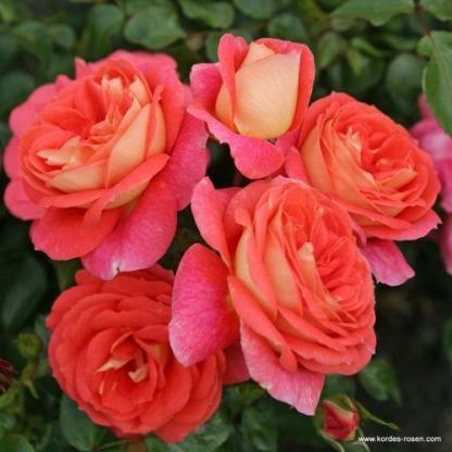Sommersonne ágyás rózsa