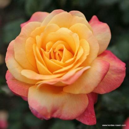 Speelwark teahibrid rózsa