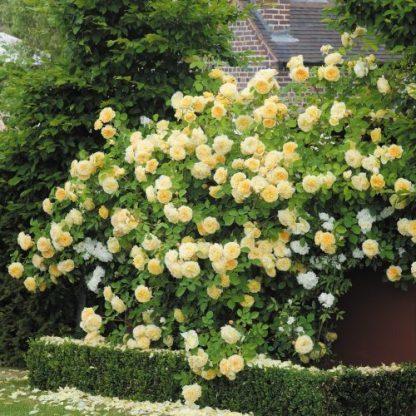 Teasing Georgia sárga angol rózsa