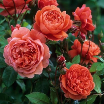 Summer_Song angol rózsa