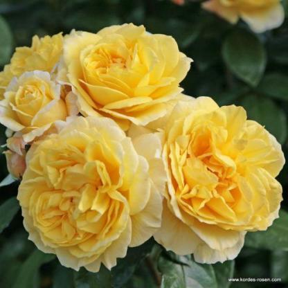 Sunstar sárga ágyás rózsa