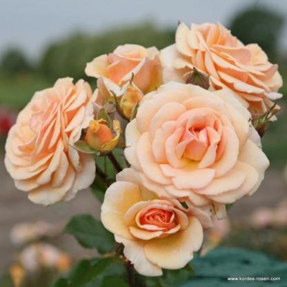 Sweet Honey floribunda rózsa