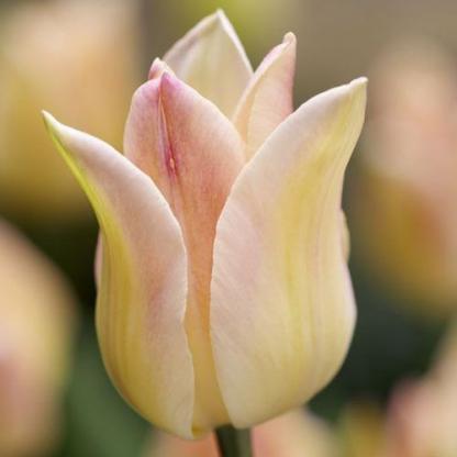 Tulipa 'Elegant Lady' - liliomvirágú tulipán meleg színeivel vidámságot csempész a hűvös tavaszi napokba.
