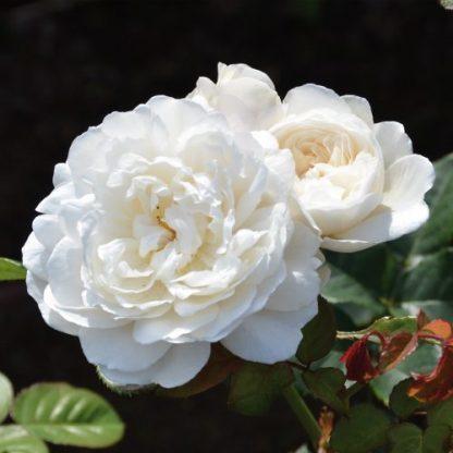 William and Catherine fehér angol rózsa