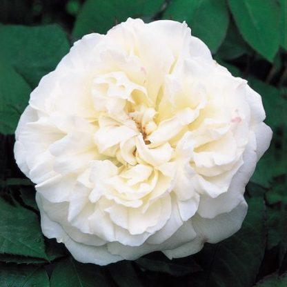 Auscat - fehér angol rózsa (David Austin)