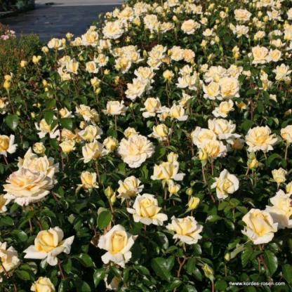 Winter_Sun teahibrid rózsa