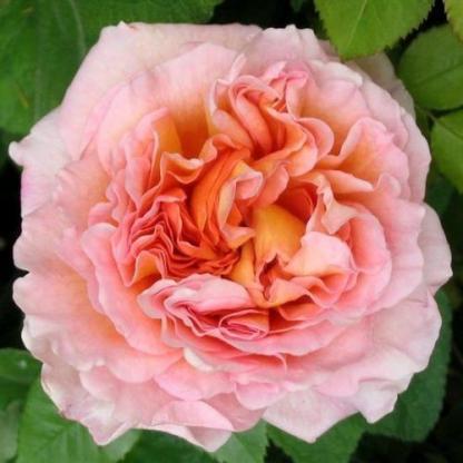 Abraham Darby - barackszínű David Austin rózsa