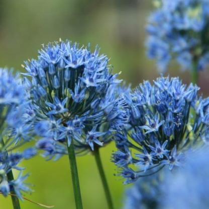 Allium caeruleum - világoskék díszhagyma