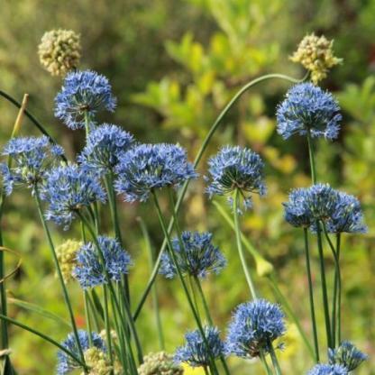 Apróbb méretű, világoskék virágokkal díszítő díszhagyma.