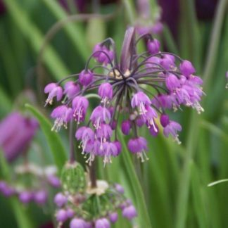 Az Allium cernuum lilás-rózsaszínű, bólogató virágfejekkel díszítő díszhagyma.