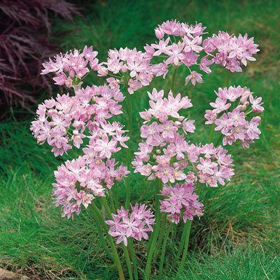 Az Allium unifolium 60 cm magas, lilás-rózsaszín virágú díszhagyma.