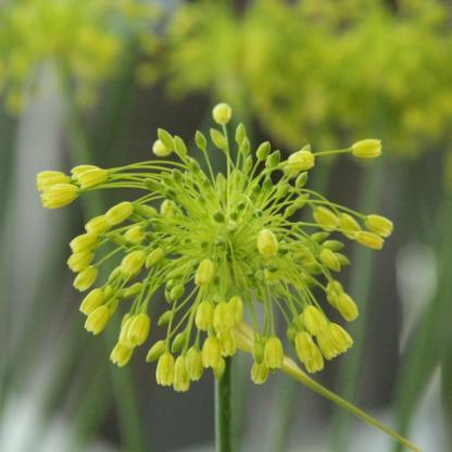allium-yellow-fantasy-diszhagyma