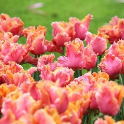 A Tulipa 'Amazing Parrot'® - papagáj tulipán szirmai belül a vadmálna színeiben pompázik, míg kívül narancssárgásan fodrozódik.