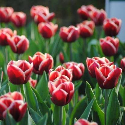 A Tulipa 'Armani' - Triumph tulipán látványos csoportosan a virágágyásban, de a vázában is jól mutat vágott tulipánként.