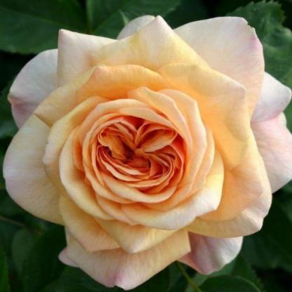 Ausfather - barackszínű angol rózsa