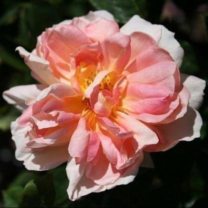 Ausleaf - lazac rózsaszín David Austin rózsa