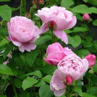 Ausmary - élénk rózsaszín David Austin angol rózsa