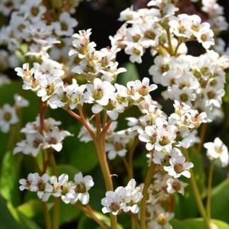 bergenia-bressingham-white-borlevel
