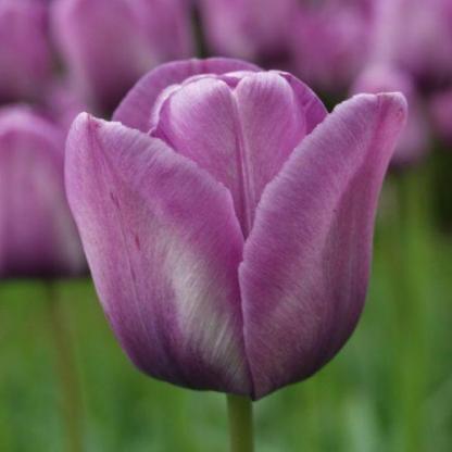 Tulipa 'Bleu Aimable' - Triumph tulipánt halvány lila, levendula színű tulipánszirmok alkotják.