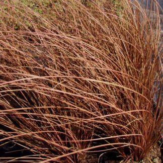 carex-flagellifera-bronze-form-ostoros-sás
