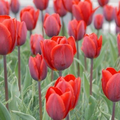 A Tulipa 'Couleur Cardinal' - Triumph tulipán szirmai szilvavörös árnyalatúak.