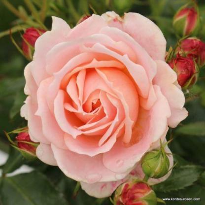 Cremosa - barackszínű ágyás rózsa