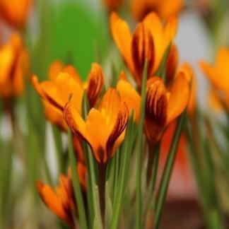 A Crocus balansae 'Orange Monarch' - krókusz kis virágú, a szirmai narancssárgák.