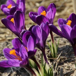 crocus-vernus-flower-record-krokusz