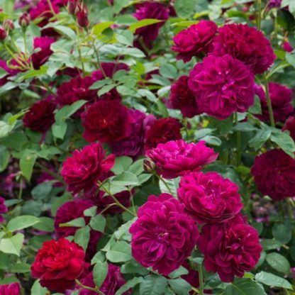 Darcey Bussell piros angol rózsa