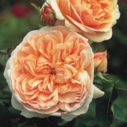 Evelyn - barackszínű David Austin angol rózsa
