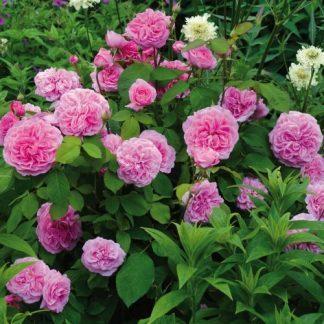 Gertrude Jekyll rózsaszín angol rózsa