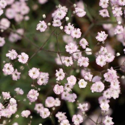 gysophila-paniculata-festival-pink-splash-boglyos-fatyolvirag
