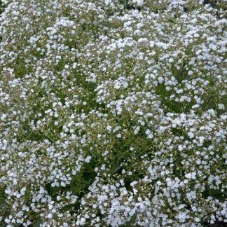 gysophila-paniculata-festival-white-flare-boglyos-fatyolvirag