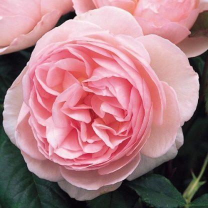 Heritage - rózsaszín angol rózsa