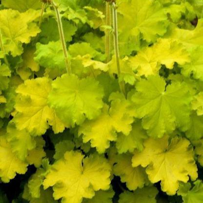 heuchera-lemon-love-tuzgyongyvirag