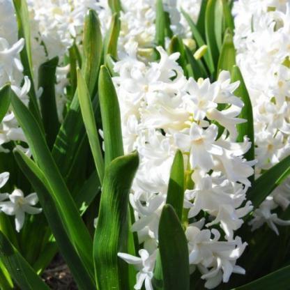 A Hyacinthus 'Aiolos' - egyszerű virágú jácint április-májusban virágzik akár 2-3 hétig is, gyönyörű hófehér virágszirmokkal.