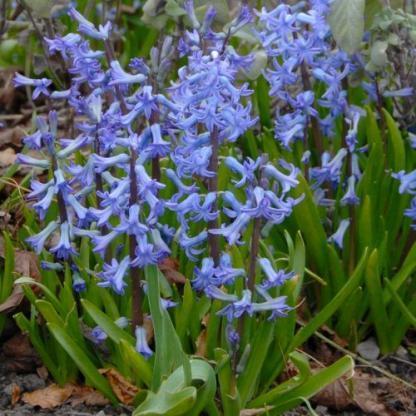 hyacinthus-blue-festival-multiflora-jacint