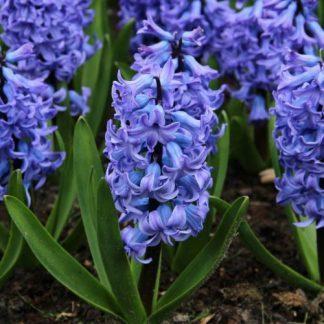 hyacinthus-blue-tango-egyszeru-viragu-jacint