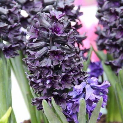 hyacinthus-dark-dimension-egyszeru-viragu-jacint
