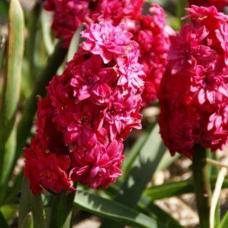 hyacinthus-hollyhock-duplaviragu-jacint
