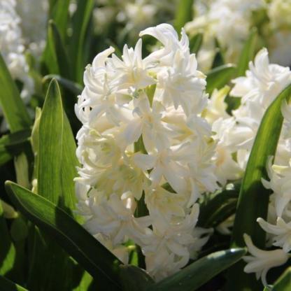 hyacinthus-madame-sophie-duplaviragu-jacint