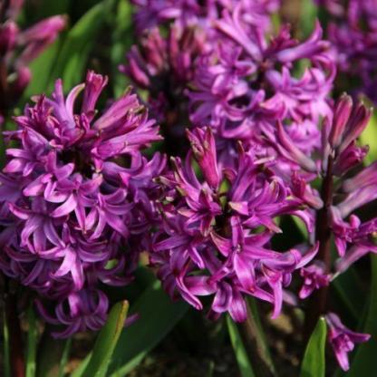 hyacinthus-purple-sensation-egyszeru-viragu-jacint