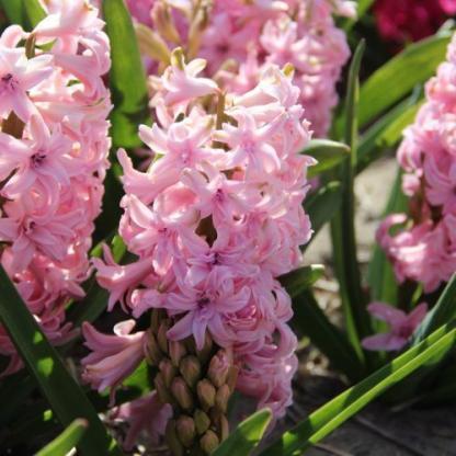 hyacinthus-rosette-duplaviragu-jacint