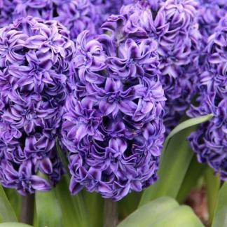 hyacinthus-royal-navy-egyszeru-viragu-jacint